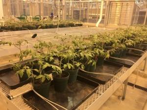 tomato-plants-1