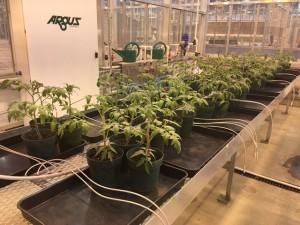 tomato-plants-2