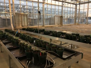 tomatoes-transplanted-dec-21-2016-2