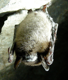 white nose fungus on bats