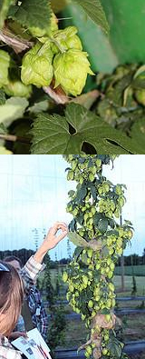 Hop Plant. Photo: OSU South Centers