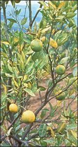Citrus tree infected with citrus greening disease. HD Catling, Bugwood.org