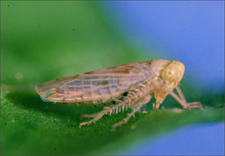 beet leafhopper