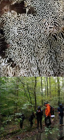 thin maze polypore fungus