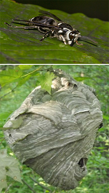 bald faced hornet and nest