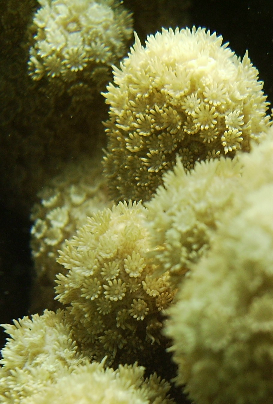 Porites compressa (Hawaii)