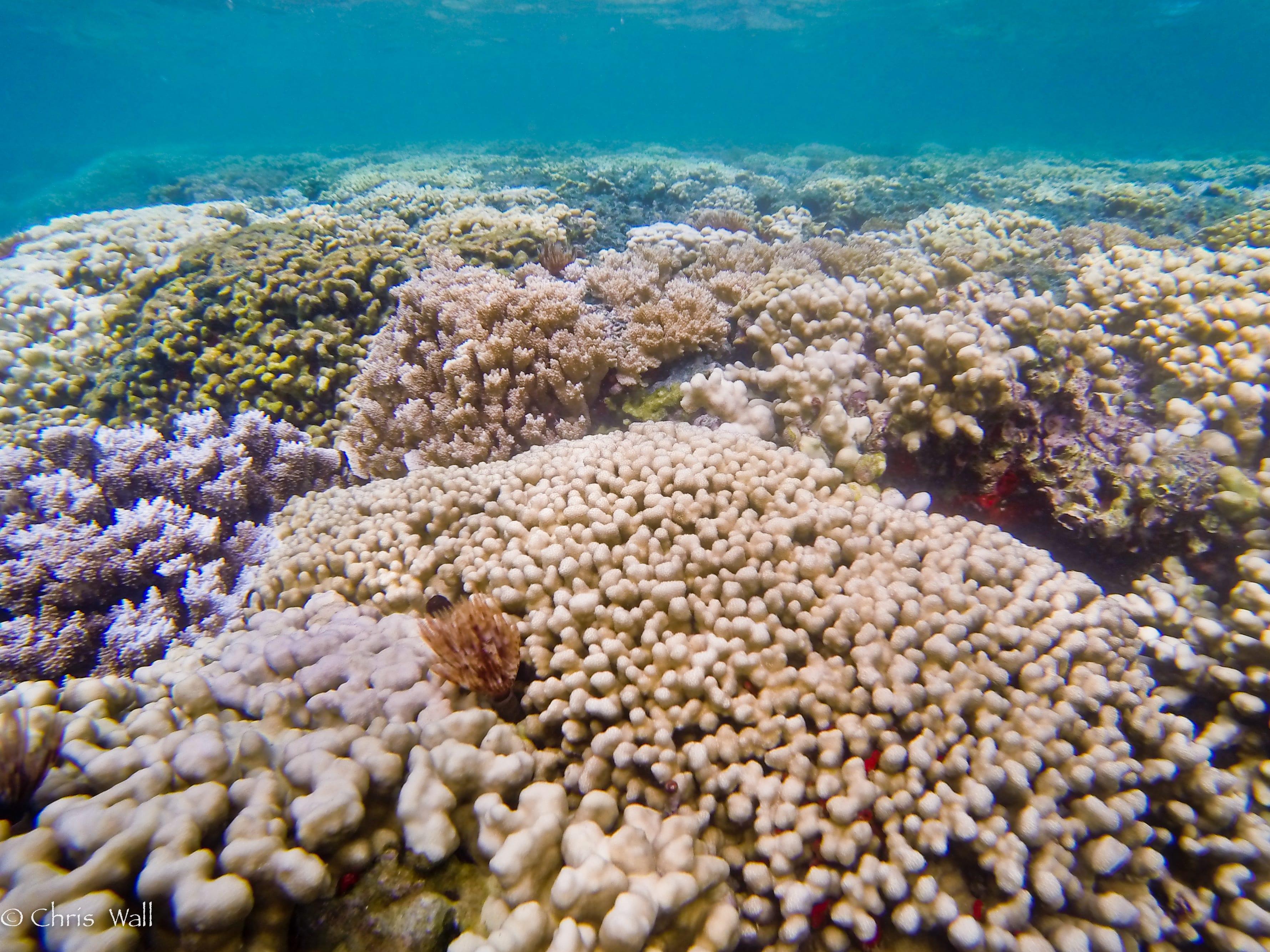 Bleached Hawaiian Reef 2014