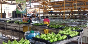 Workers put clean bananas on a conveyer belt to be packaged.
