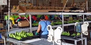 Bananas go into shipping boxes.