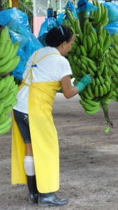 Workers check the bananas as they come in.