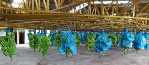 Banana bunches come into the shipping facility