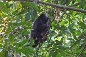A howler monkey brought her baby out to see us.