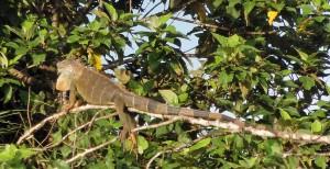 An iguana suns himself.