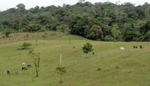 Cattle graze on a mountainside at Laureles Farm.