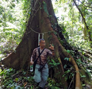 Mario tells us how the tree roots buttress out above ground because the tropical soil is so shallow.