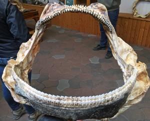 Shark jaws at Bjarnarhöfn shark museum.