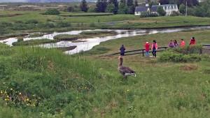 A goose keeps watch at Þingvellir National Park.