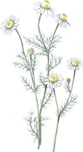 chamomile-herbal-remedies-1