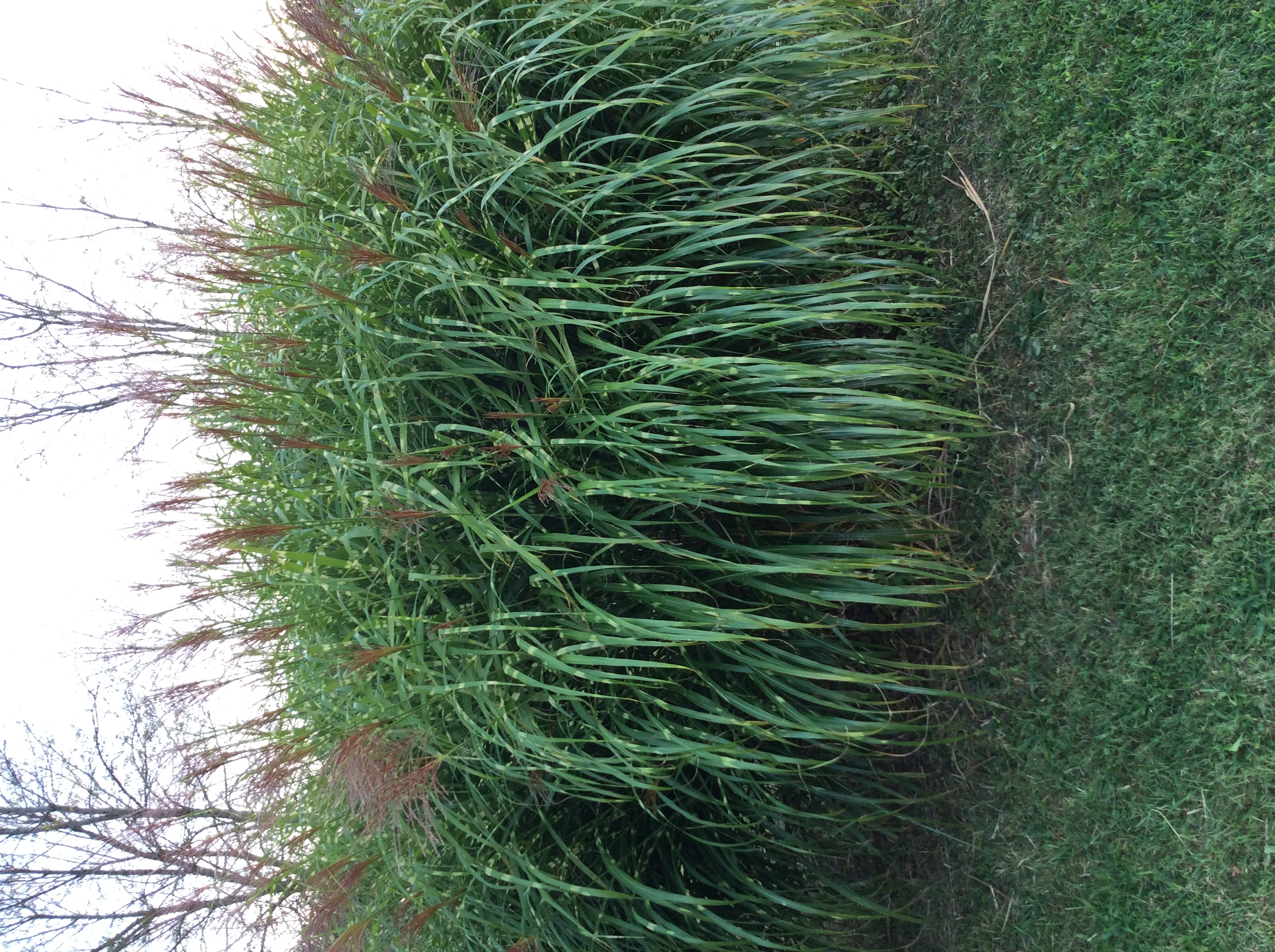 south american elephant grass