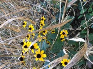 Thin-eyedConeflower1_SN