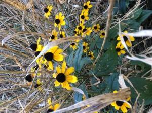 Thin-eyedconeflower2_SN