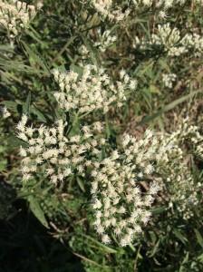 Boneset in the Asteraceae family.