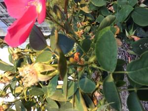 Rosaceae2_SN