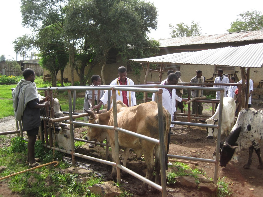 students-and-cattle-in-pen