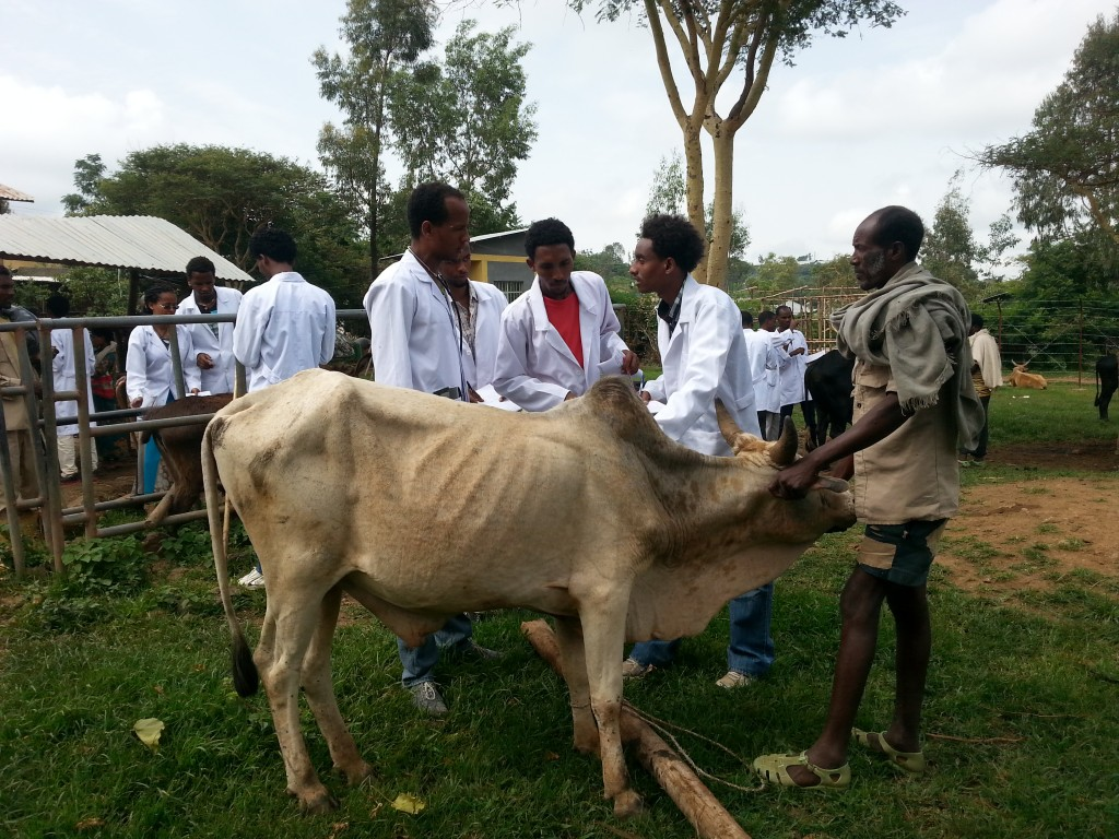 white-ox-and-students