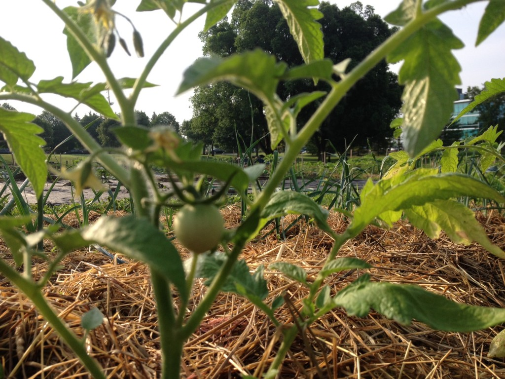 Some green tomatoes, var. Early Girl, hoping for a July 1st harvest target date