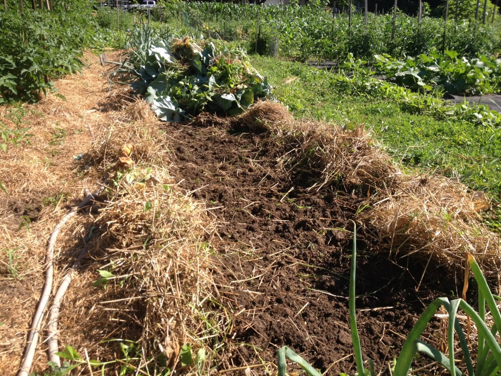 Green beans following cabbage adds nitrogen back to the soil in crop rotation