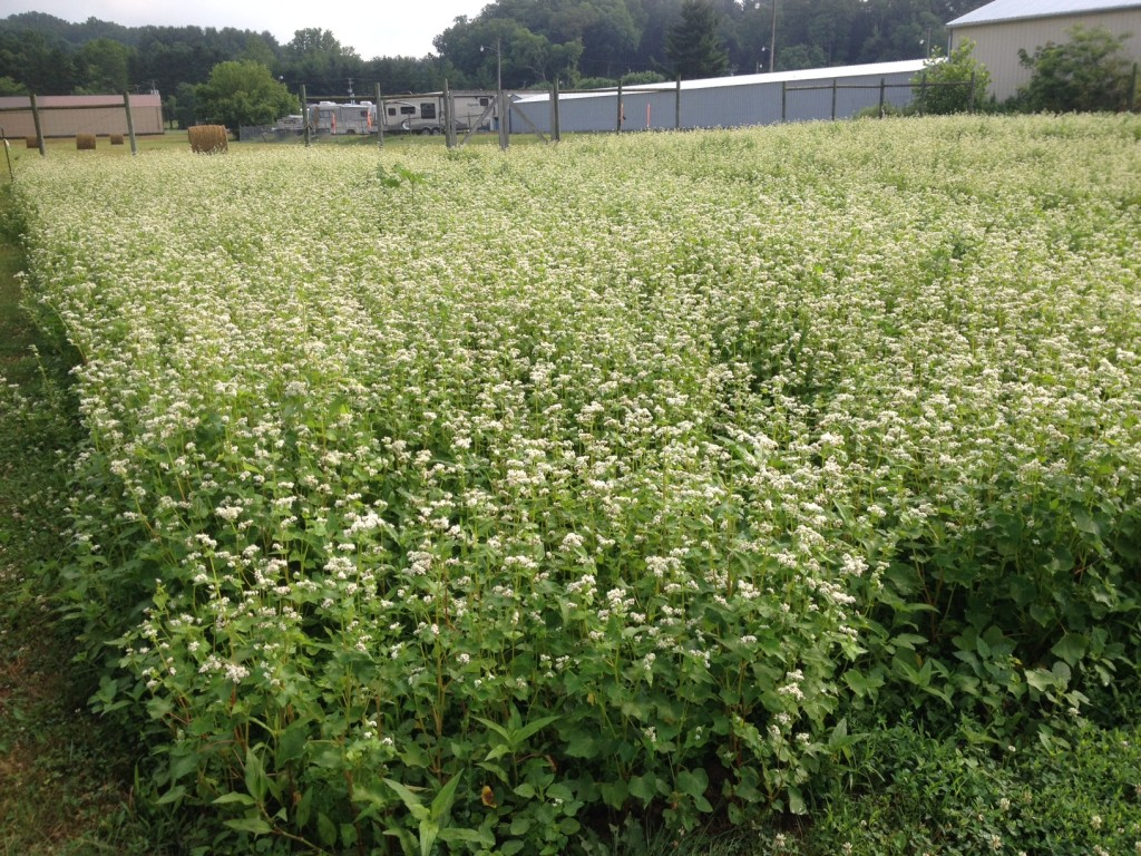Buckwheat cover crop at the Logan Community Garden