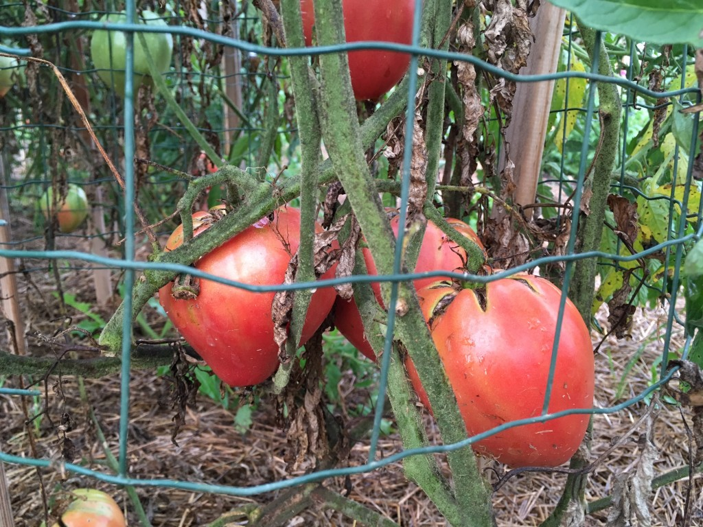 Oxheart tomatoes.  The plants were groaning with them and they looked beautiful