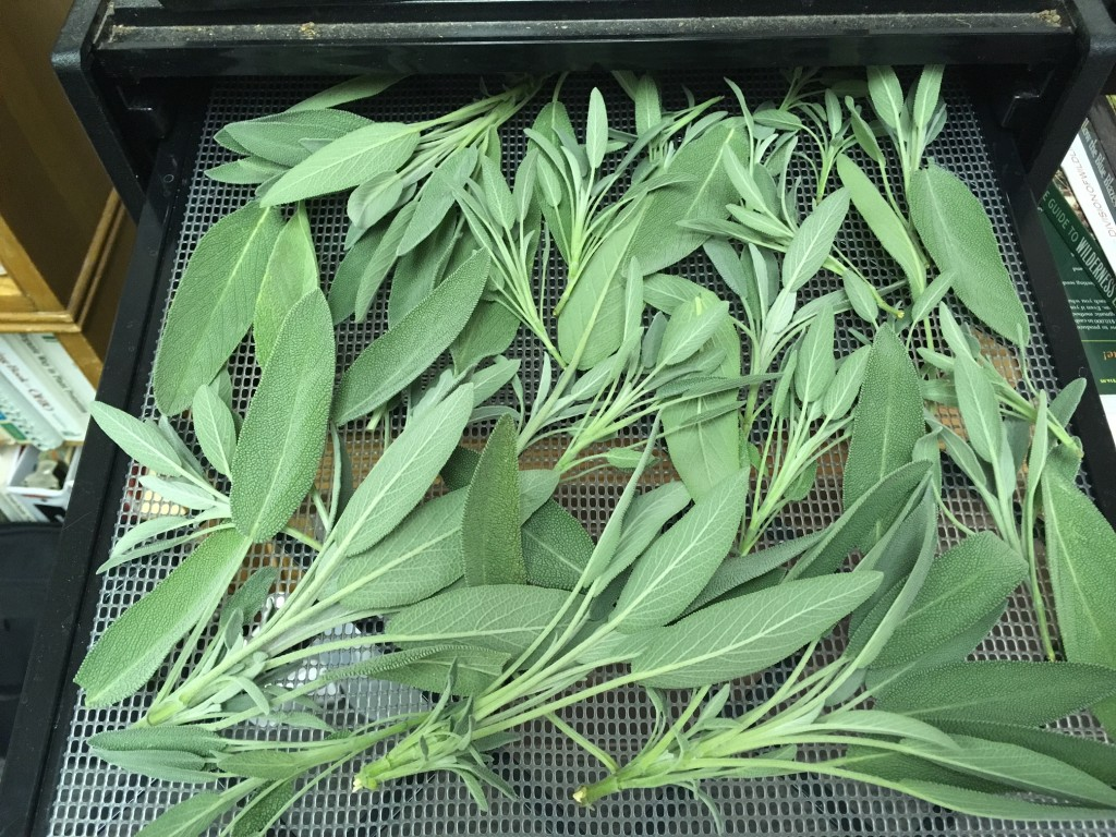 Sage - Individual leaves dry best with this large leaf herb