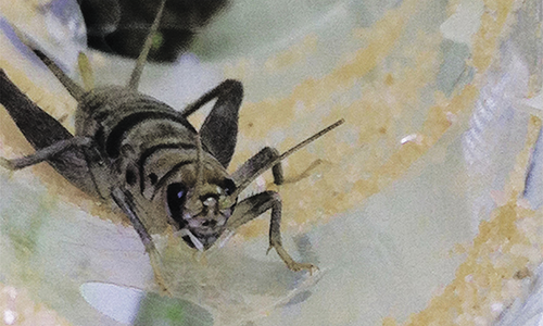 A cricket interacting with a textured, sandy surface