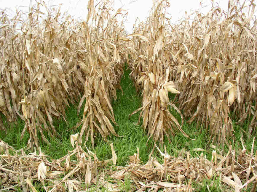 Feed Alternatives Allowed By A Corn Soybean Amp Wheat