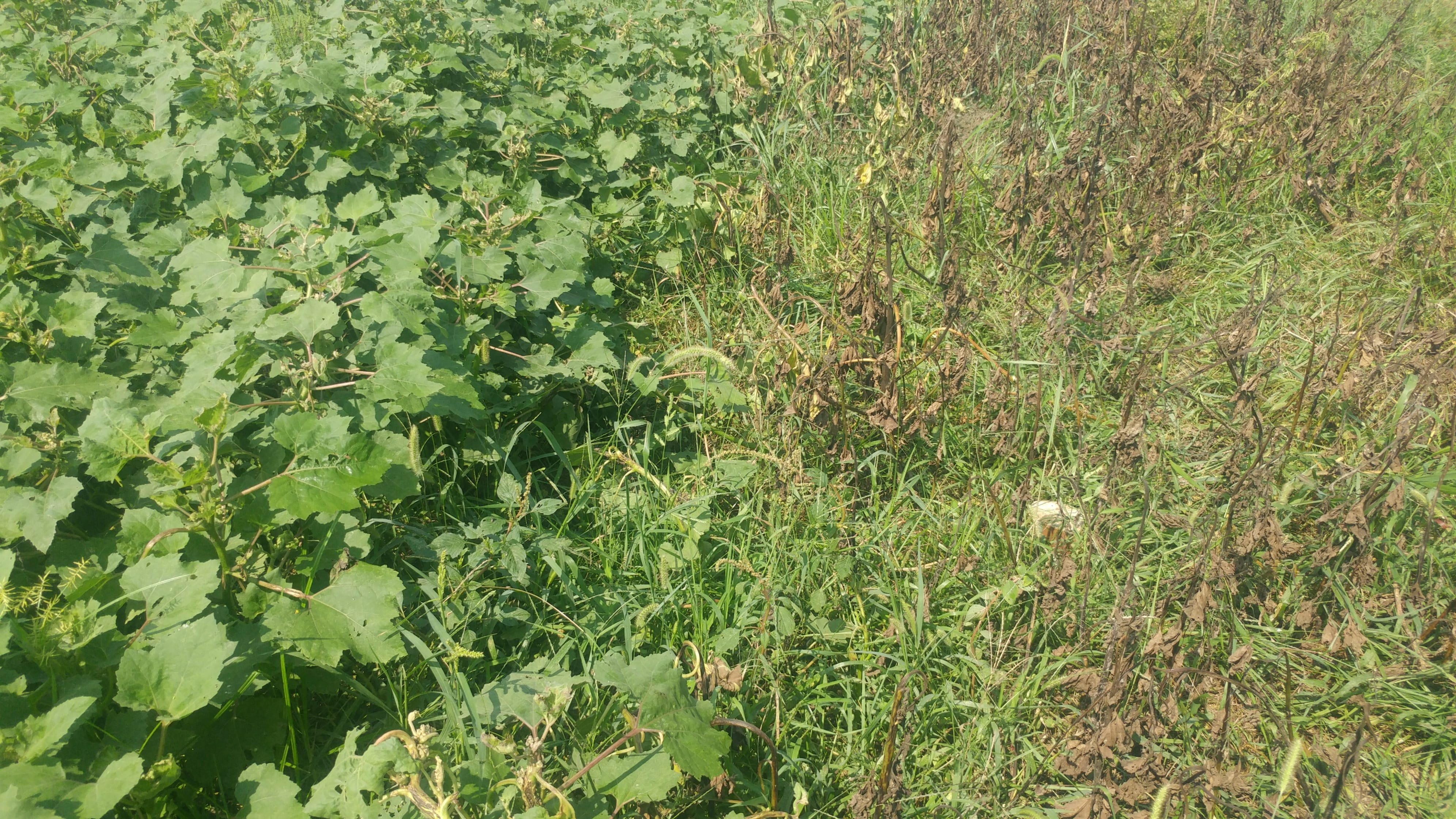 Get After the Weeds Yet This Fall   Ohio BEEF Cattle Letter