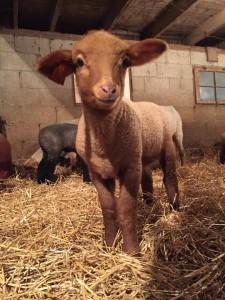 tunis lamb