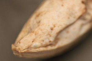 OSUM Study Monopterus alba head