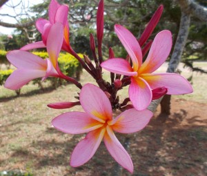 Plumeria (my favorite flower scent!)
