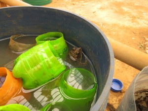A toad taking advantage of some pots I left soaking in the screenhouse.