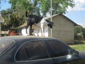 This goat was trying to eat the car's antenna
