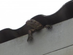 A monitor lizard just chilling in the hostel roof