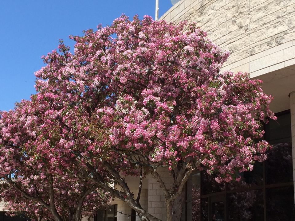 The pretty flowers and such of canada montreal this is another pretty plant ish its one of the pink trees outside of the museum in ottawa i snapped a shot of this beauty because i thought it looked mightylinksfo
