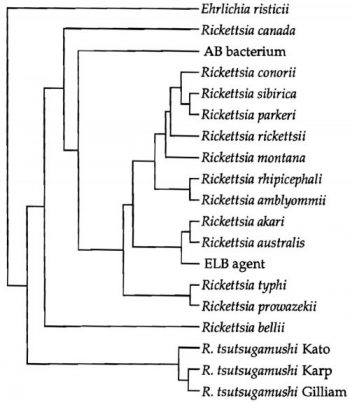 phylogenetic relationships among the 16s rrna genes of members of the rickettsiaseae based on maximum parsimony