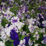purple-and-white-petunias