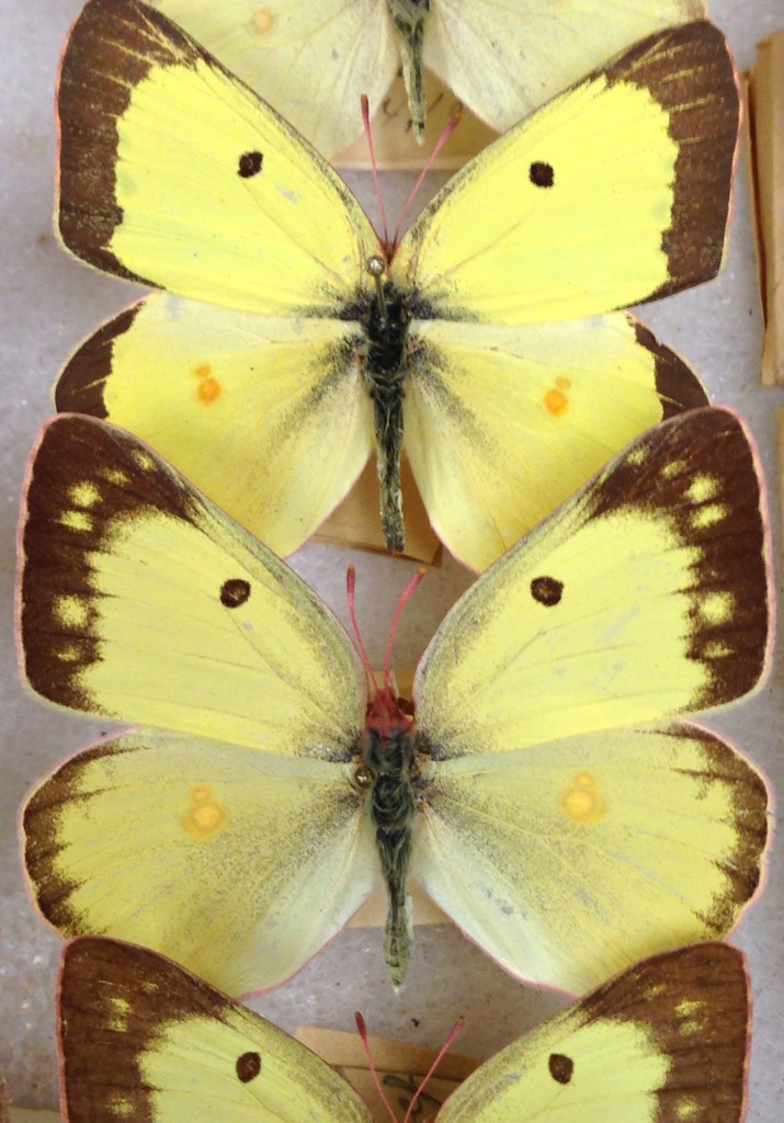 Clouded Sulphur butterflies collected in 1884 were recently mounted by John Gilligan.