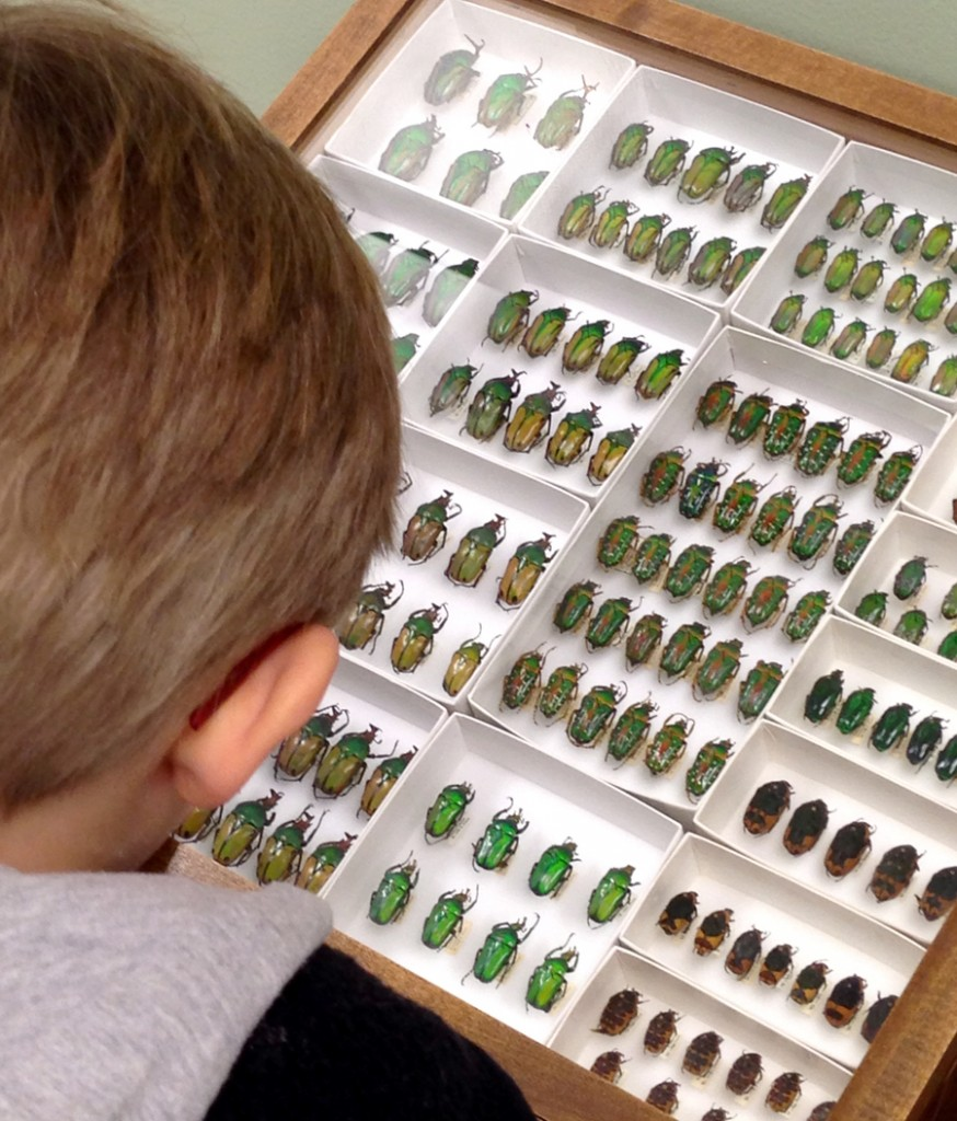 Display drawer of scarabs in the family Cetoniinae, commonly called chafers.