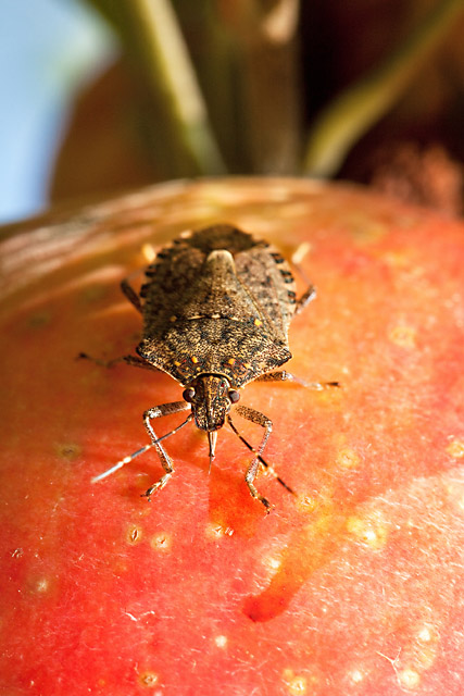 The brown marmorated stink bug shown here feeding on an apple. Photo by Stephen Ausmus.