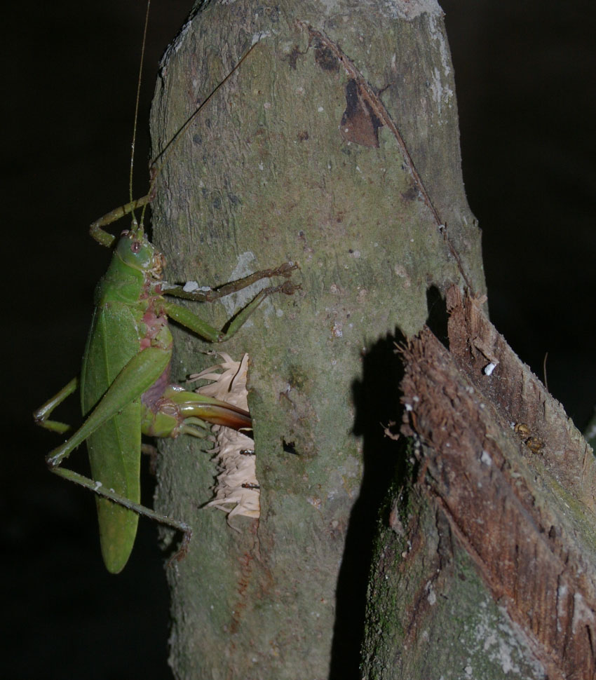 Female katydid laying eggs in palm tree stump. Photo by Claus Rasmussen.